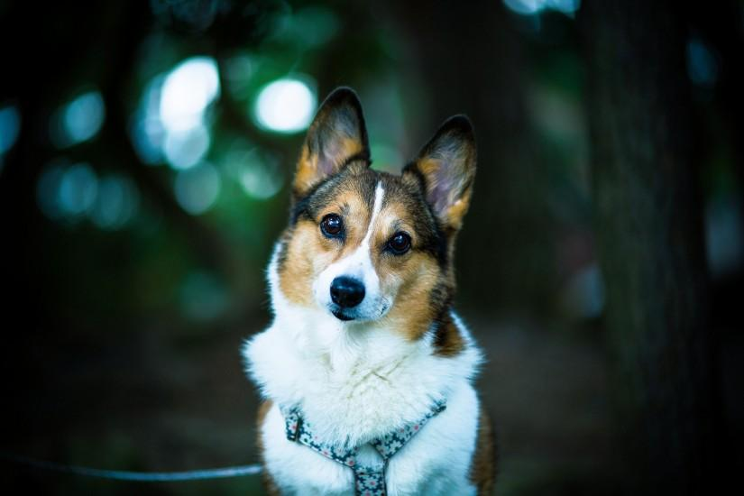 Corgi wallpaper ·① Download free cool backgrounds for ...