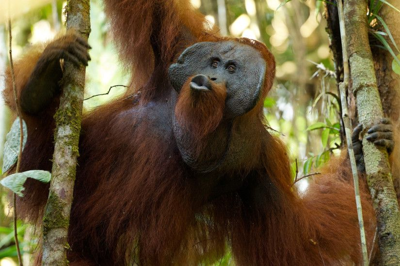 Picture of an adult male orangutan with pursed lips making kiss-squeak  calls while hanging