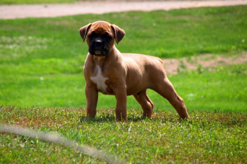 Muscular boxer puppy on grass