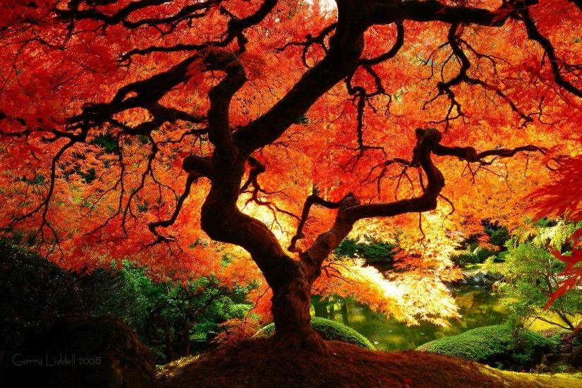Japanese Maple Fall 763972