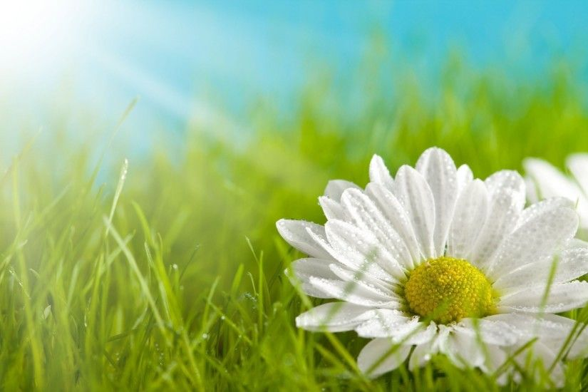 flower flower daisy white yellow petals grass green meadow background  wallpaper widescreen full screen widescreen hd