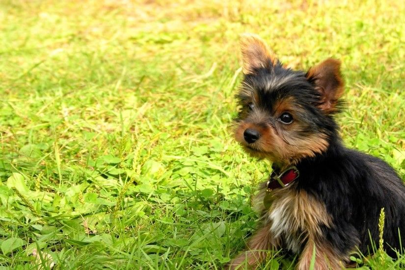 Preview wallpaper yorkshire terrier, puppy, baby, dog, grass 1920x1080