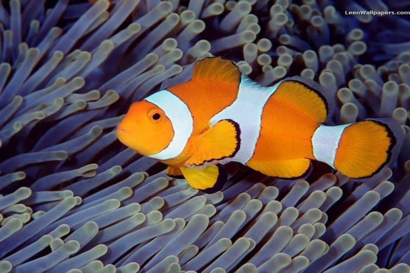 Clown Fish 137557