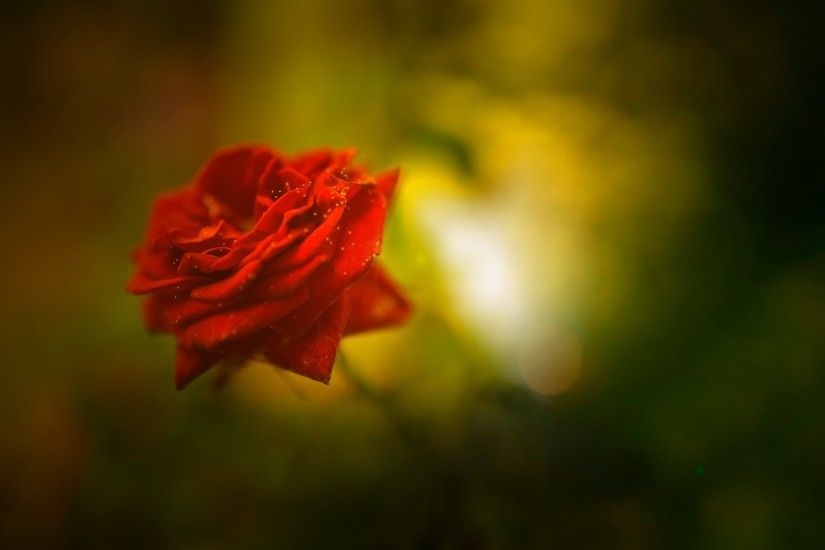 Flowers / Red Rose Wallpaper