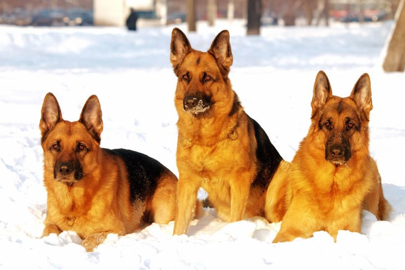 German Shepherd dogs in snow wallpaper