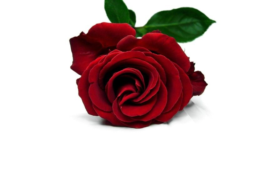 White Background 3d Red Rose 518