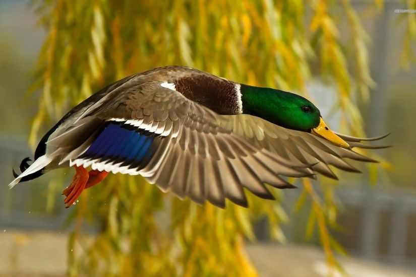 Mallard Duck Flying Wallpapers Mallard Duck Flying Images for