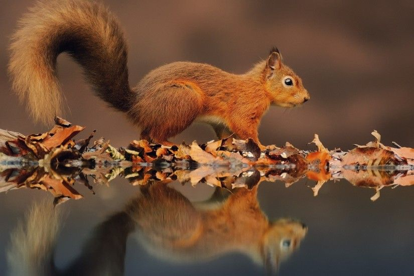 1920x1080 Wallpaper squirrel, leaves, reflection, water, autumn