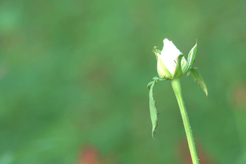 4K White Rose Buds Bokeh Background Nature Footage