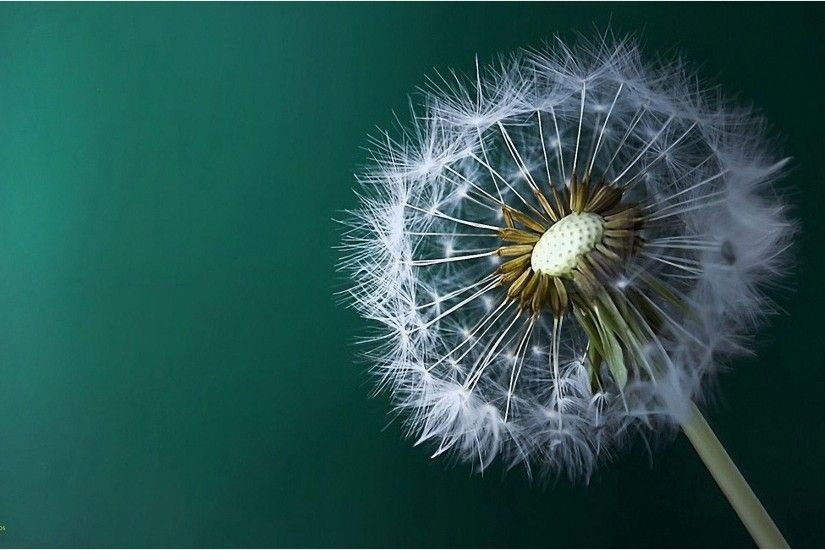 Dandelion Wallpaper Beautiful Dandelion Wallpapers Wallpaper Cave