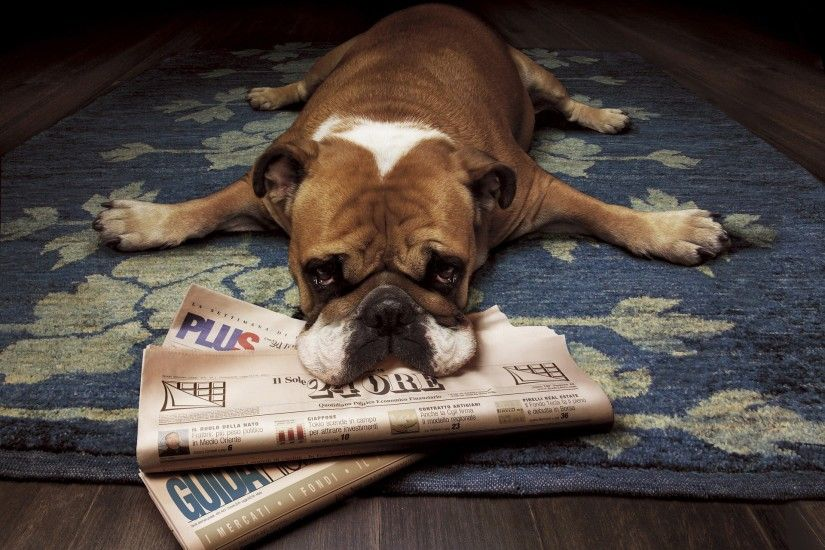 Animals dogs bulldog newspapers english bulldog wallpaper | 1920x1440 |  9574 | WallpaperUP