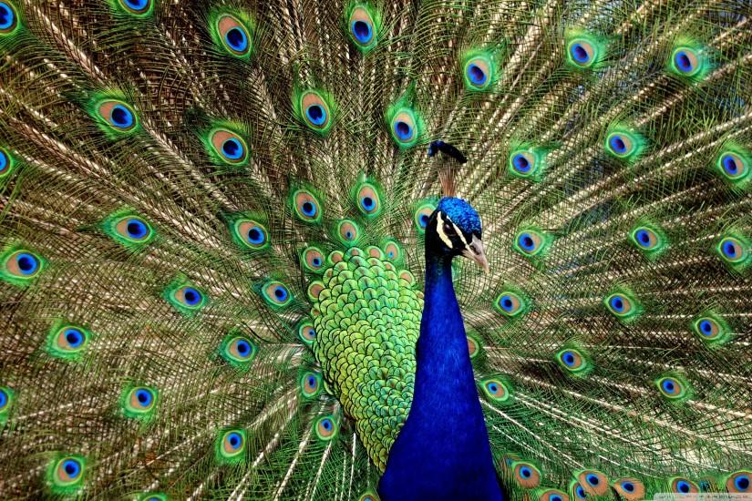 Image peacock wallpaper 3d hd pictures