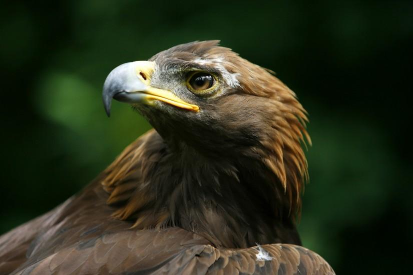 Golden Eagle wallpaper - 624223