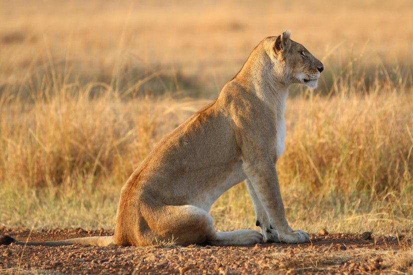 lioness wallpaper background hd 12331