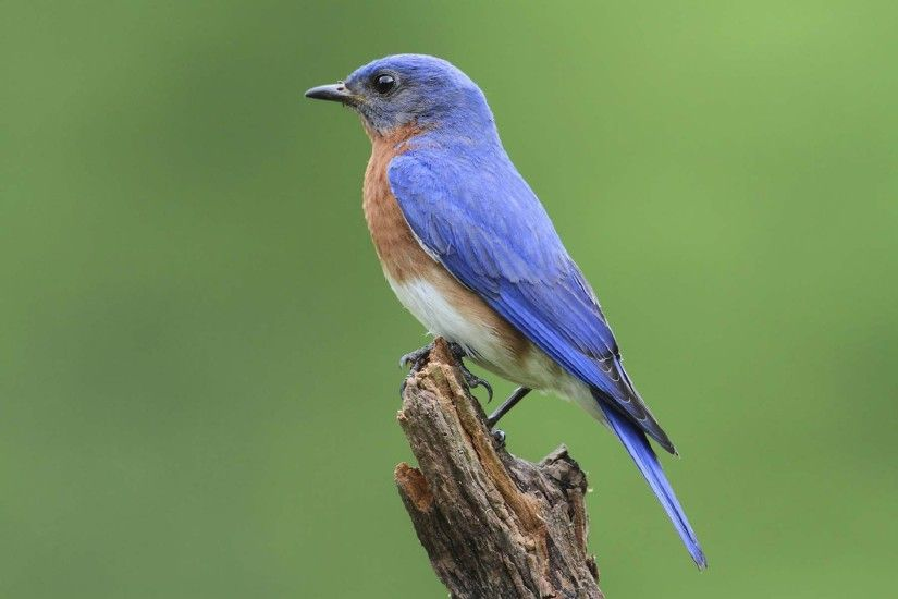 Bluebird Wallpapers Backgrounds