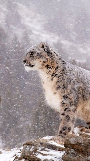 Animal Snow Leopard Cats. Wallpaper 600076