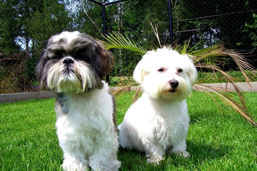 Top Shih Tzu Dog With Wallpapers