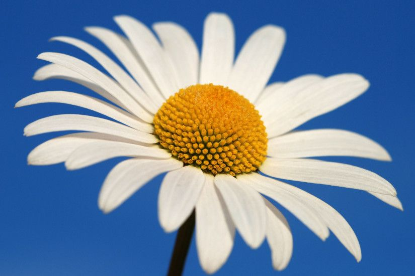 White Daisy Wallpaper Background 3132
