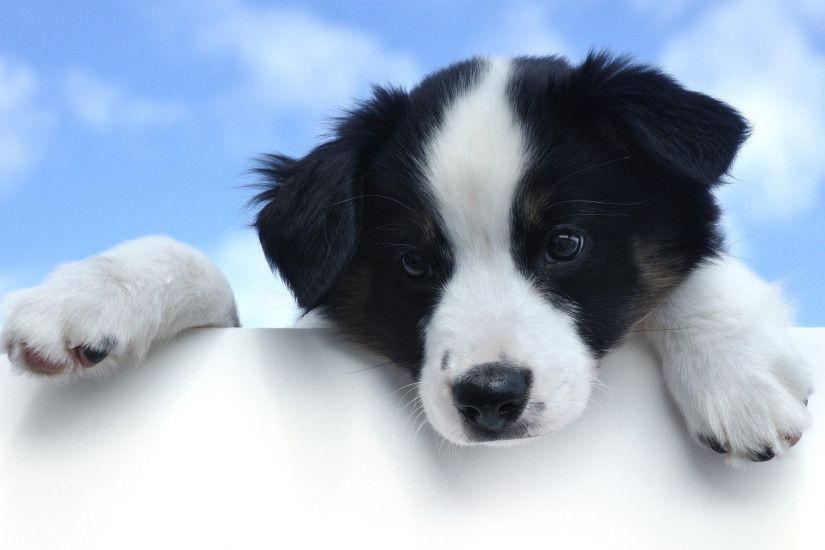 Magnificent 192 Border Collie Hd Wallpapers | Backgrounds - Wallpaper Abyss  And also Puppy Dog Wallpaper