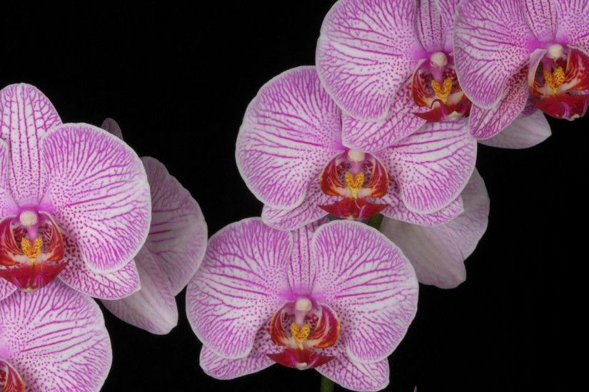 Preview wallpaper orchid, branch, pink, exotic, black background 2048x2048