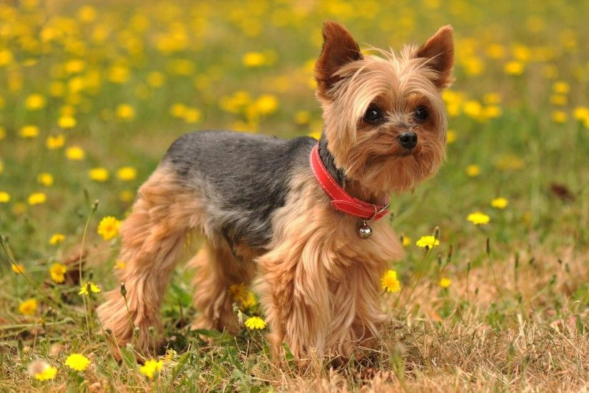 Animals Yorkshire Terrier Dog Images.Very Beautiful Yorkshire Terrier Dog  Photos.Yorkshire Terrier Dog Pics Background Wallpapers Download.