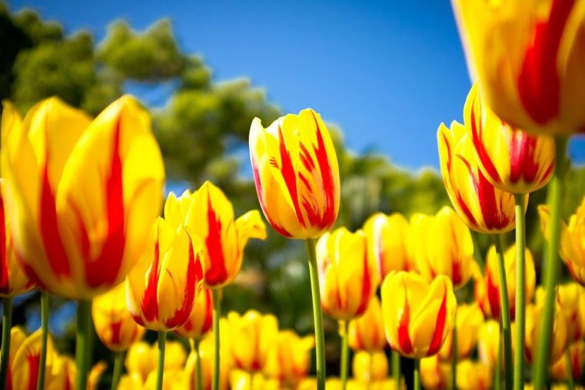 Pics Of Tulips Flowers for Wallpaper · Attachment for Spring Yellow Tulips  for Nature Wallpaper in HD