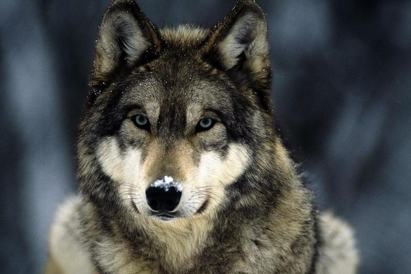 10. wolf wallpapers10