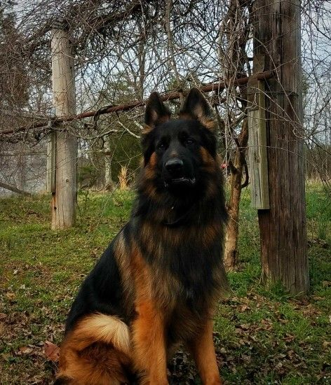 ... pictures police s pets pinterest police black and brown german shepherd  dog s pets pinterest wallpaper ...