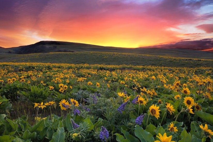 Beautiful sunset over the sunflowers wallpaper
