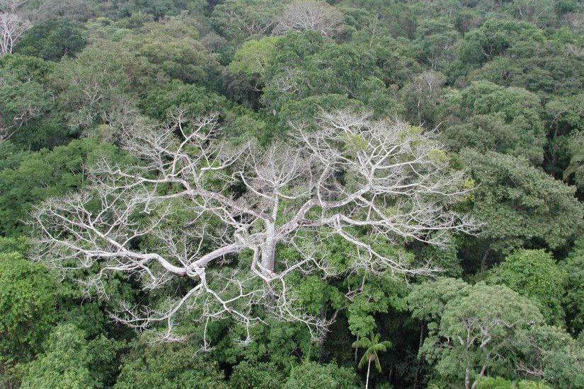 The megadrought in the Amazon rainforest during the summer of 2005 caused  widespread damage and die-offs to trees, as depicted in this photo taken in  ...