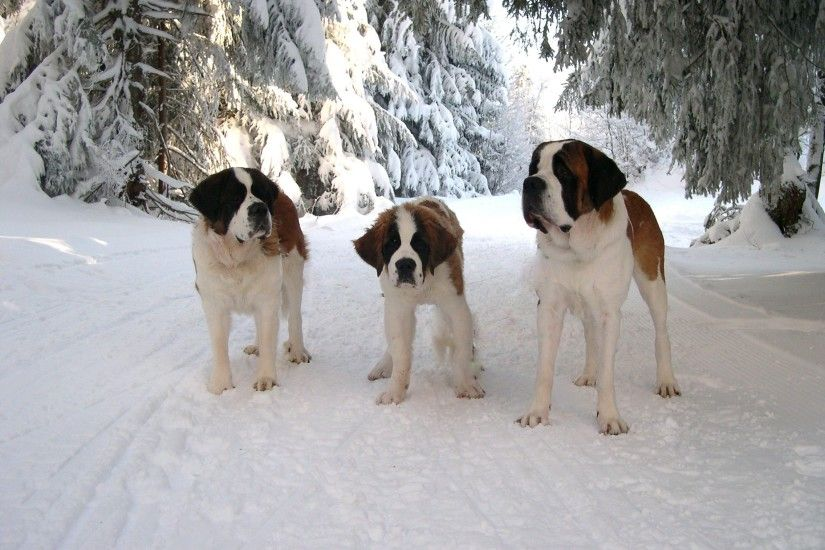 Three St. Bernard in the forest