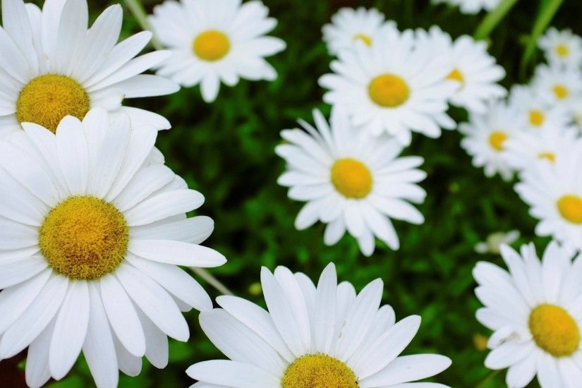 flower flowers daisy white flower background wallpaper widescreen full  screen widescreen hd wallpapers background wallpaper widescreen