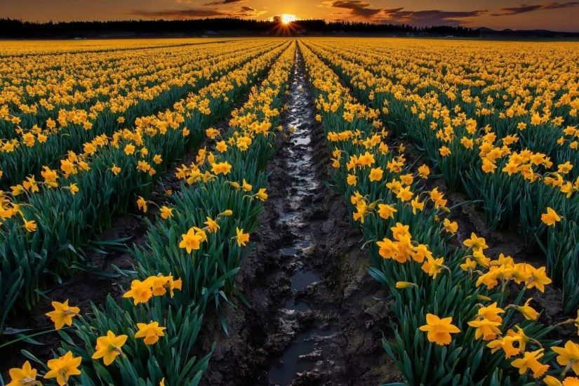 Sunset, Over, The, Daffodils, Widescreen, High, Definition, Wallpaper,  Download, Photos, High Resolution Photos, Amazing Wallpapers, Display, ...