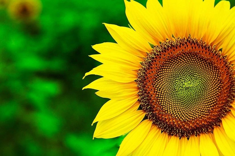 Free Sunflower Wallpaper High Quality Â« Long Wallpapers ...