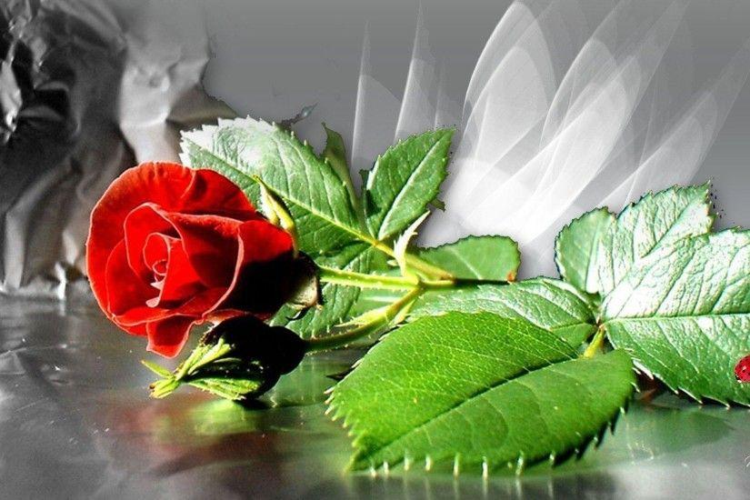 Red Rose Wallpaper