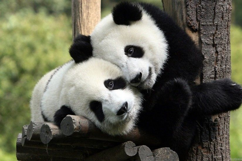 ... Wallpaper Cute baby pand More images of Cute Baby Panda Bear Pictures.  Posts .