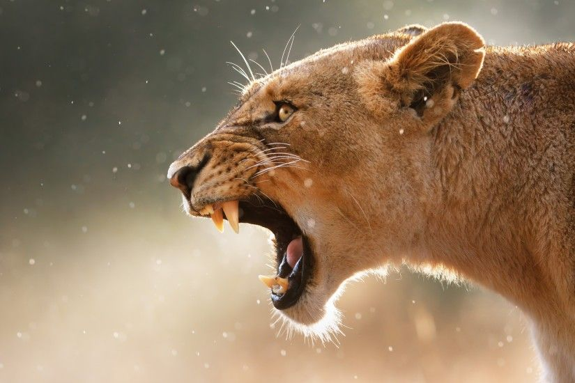 Lioness Wallpapers