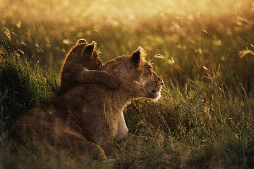 1920x1080 Wallpaper lioness, lion, sunset, baby, care, grass, shadow
