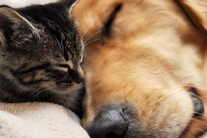 Cat and Dog Best Friends HD Wallpaper. « »