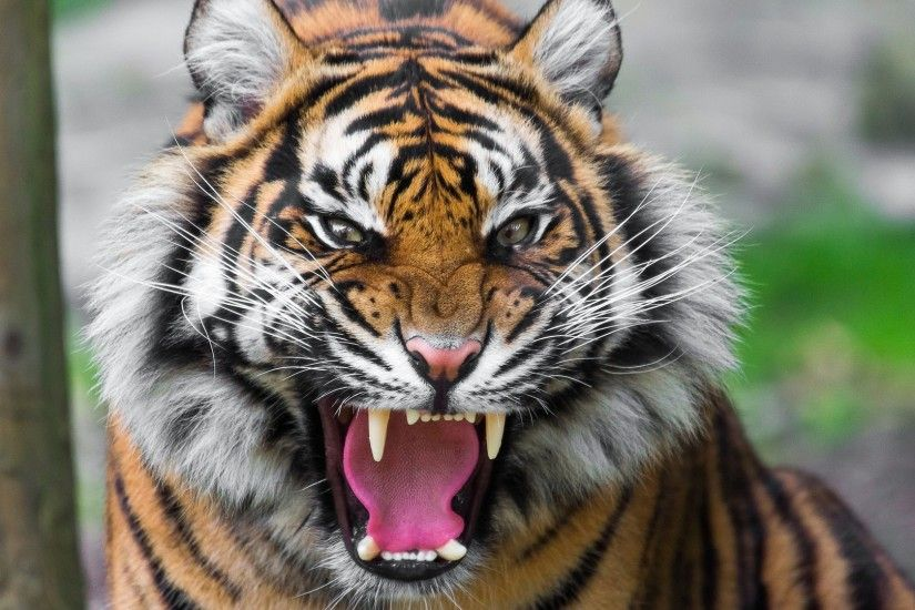 Preview wallpaper tiger, face, teeth, anger, big cat 1920x1080