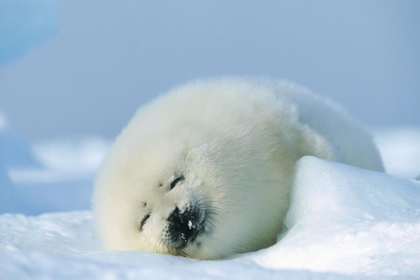 Seal cub Wallpaper Baby Animals Animals
