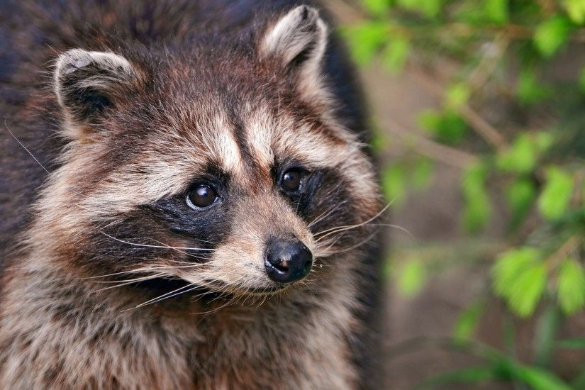 Raccoon Wallpaper HD 43652