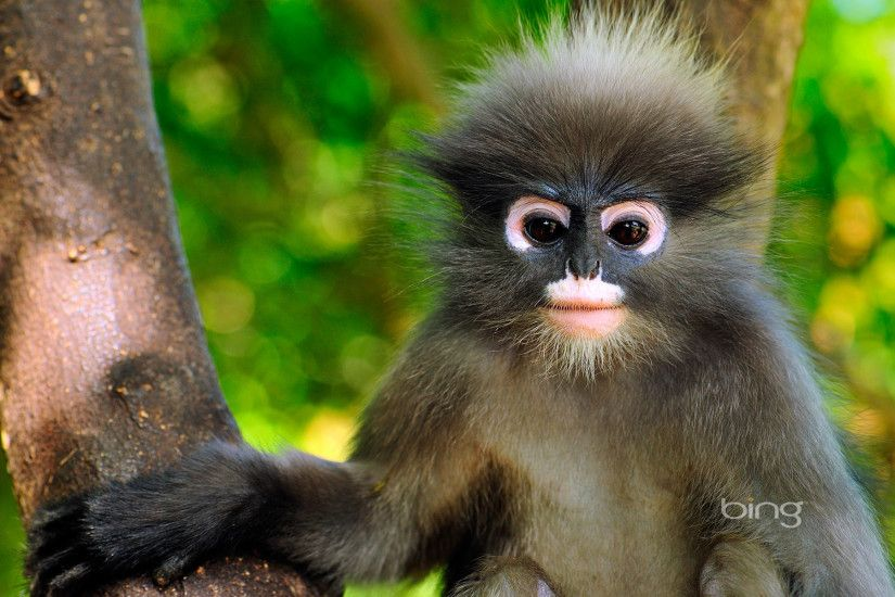 Animal - Dusky Leaf Monkey Monkey Cute Wallpaper