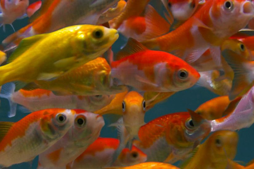 Goldfishes background hectic activity in fish tank Stock Video Footage -  VideoBlocks