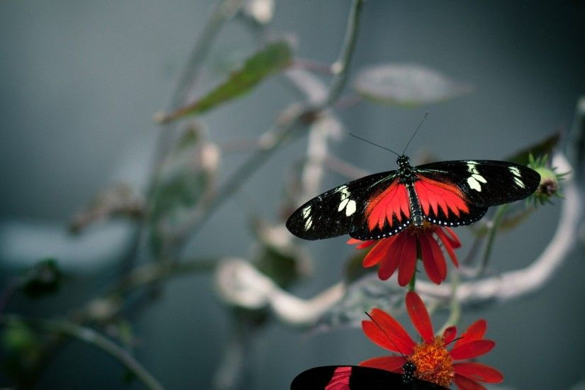 ... and red butterfly HD Wallpaper 1920x1200 Black ...