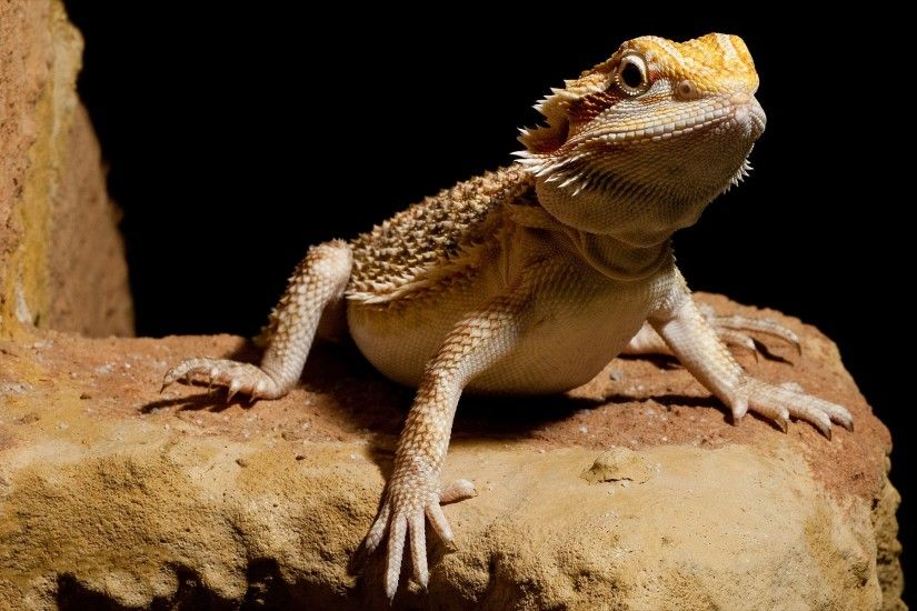 wallpaper.wiki-HD-Bearded-Dragon-Wallpaper-PIC-WPB0015415