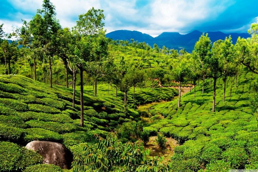 Green tea field, Kerala, India HD Wide Wallpaper for 4K UHD Widescreen  desktop &