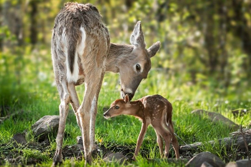 Beautiful Mom White Tailed Deer Clean HD Wallpaper