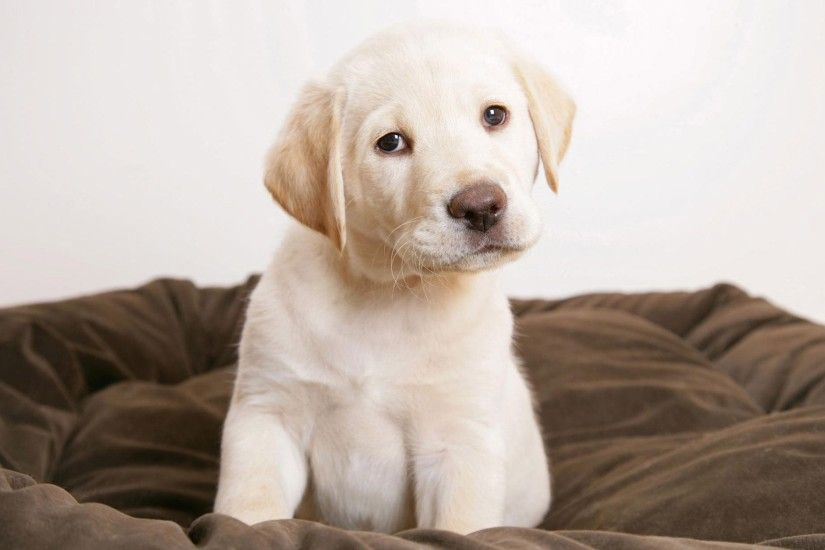 Wallpapers Backgrounds - Dogs Cute Puppies Golden Labrador Retreivers Beagle  Puppy Wallpapers