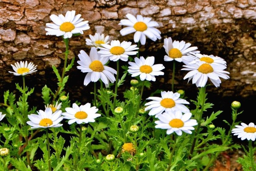 flower flowers chamomile daisy flowers beautiful background wallpaper  widescreen full screen widescreen hd wallpapers background wallpaper